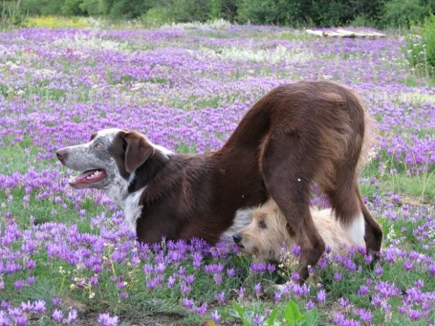 Mi lehet szebb egy alpesi réten pózoló kutyánál? Két alpesi réten pózoló kutya!